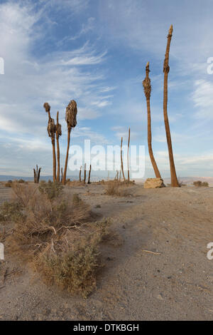 Salton City, CA, USA  . 18th Feb, 2014. Dead and dying palm trees are all that remain of the Salton Bay Yacht Club, - Stock Photo