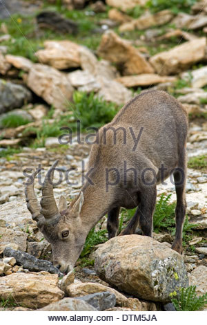 Alpine ibex (Capra ibex) juvenile licking minerals from rocks on mountain slope in summer - Stock Photo