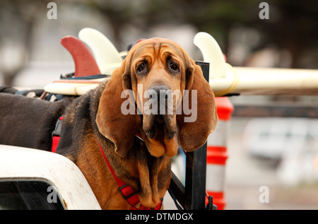 Red dog Bloodhound in car - Stock Photo