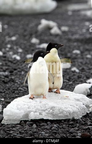 Adelie Penguin, adult couple on ice floe, Antarctica, Devil Island, Weddell Sea / (Pygoscelis adeliae) - Stock Photo