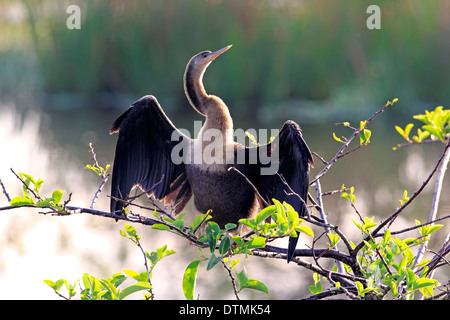 Anhinga adult female on branch drying feathers Wakodahatchee Wetlands Delray Beach Florida USA Northamerica / (Anhinga - Stock Photo