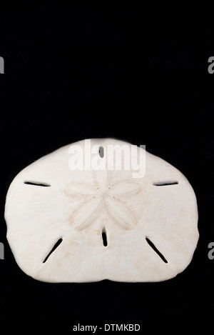 Detail of sand dollar on black background. - Stock Photo