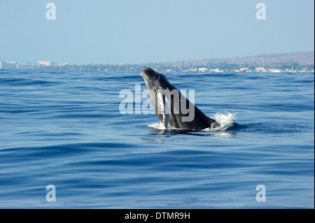 Baby whale off the coast of Maui Hawaii. - Stock Photo