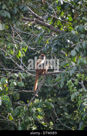 Black-handed or Geoffroy's Spider Monkey (Ateles geoffroyi). Corcovado. Costa Rica. - Stock Photo