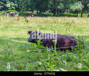Bull and cows in a field of a farm in the Spreewald, UNESCO Biosphere reserve - Stock Photo