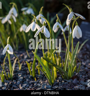 Galanthus, snowdrop flowers in the sunlight in the alpine rock garden in Spring at Kew Botanic Gardens, London, - Stock Photo