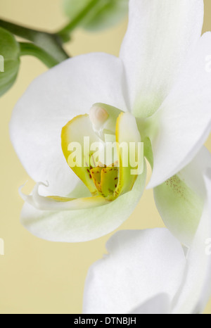 Close up of white orchid - Stock Photo