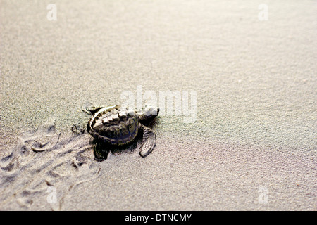 A baby olive ridley turtle crawls to the shore after hatching in a beach in Maitum, Sarangani province, Mindanao, - Stock Photo