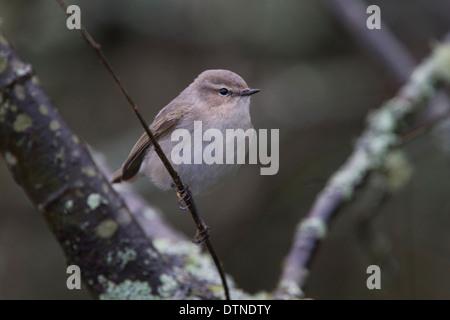 Siberian Chiffchaff (Phylloscopus collybita tristis) a rare bird, at Stithians Reservoir, Cornwall, UK. - Stock Photo