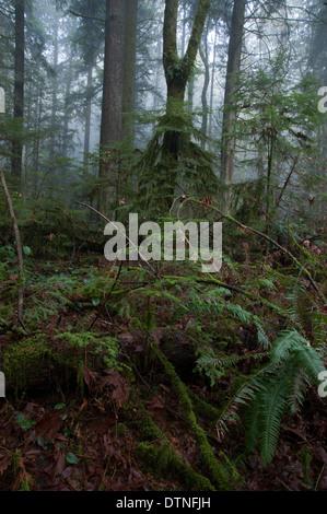 Ferns and cedar trees in a dark foggy rain forest on the west coast of North America - Stock Photo