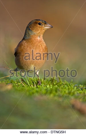 Common chaffinch (Fringilla coelebs) male foraging on the ground - Stock Photo