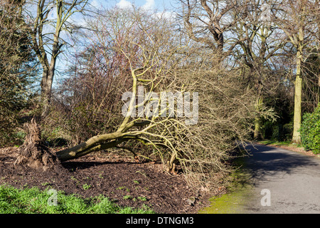 Uprooted tree after land is softened by heavy winter rainfall at Kew Botanic Gardens, London, UK - Stock Photo