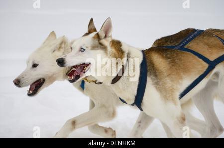 Panting pair of lead Seppala Siberian Husky Sleddogs pulling a dog sled in a winter race Marmora Snofest Ontario - Stock Photo