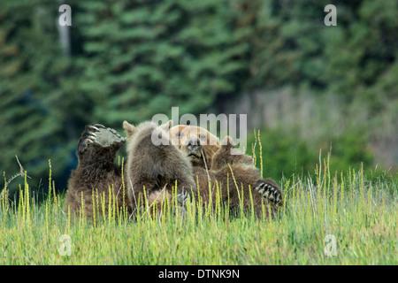 Grizzly Bear Sow, Ursus arctos, on her back, nursing two Spring Cubs, Lake Clark National Park, Alaska, USA - Stock Photo