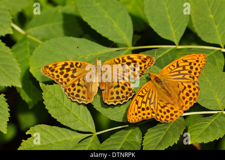 silver-washed fritillary (Argynnis paphia) butterfly pair resting on leaf in sunshine, Bedfordshire, England, United - Stock Photo