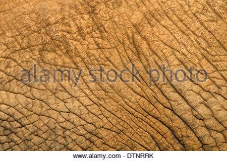 African elephant (Loxodonta africana) close-up detail of skin of adult animal - Stock Photo
