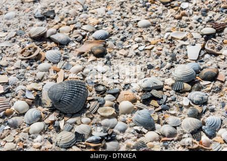 Seashells, Pine Beach Trail, Bon Secour National Wildlife Refuge, Fort Morgan Peninsula, Gulf Shores, Alabama. - Stock Photo