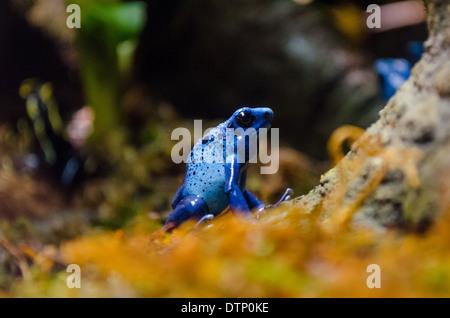 Blue poison dart frog (Dendrobates azuresus) in profile. - Stock Photo