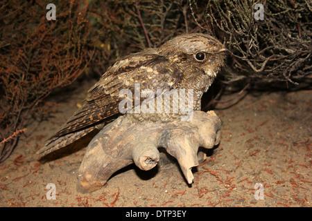 Taxidermy Nightjar Caprimulgus europaeus - Stock Photo