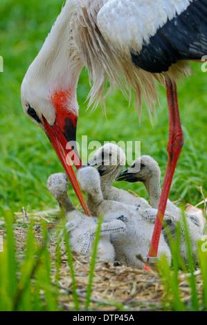 White Storck feeding chicks / (Ciconia ciconia) - Stock Photo