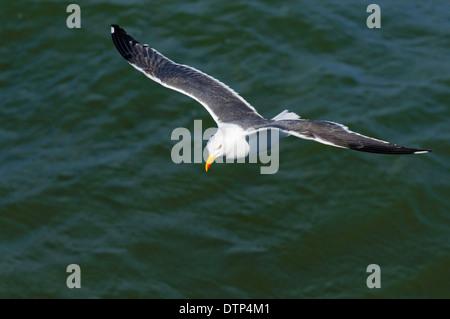 Lesser Black-backed Gull, Island Texel, Netherlands / (Larus fuscus) - Stock Photo