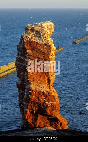 Lange Anna, breeding colony on cliff top, Heligoland, Schleswig-Holstein, Germany / bird rock - Stock Photo