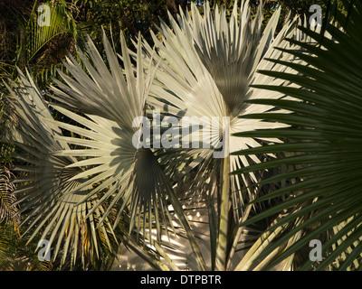 India, Goa, Siolim House, Portuguese colonial era hotel garden green palms - Stock Photo