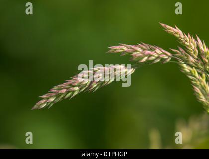Grass seed-head - Stock Photo