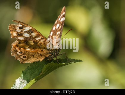 speckled wood butterfly / / pararge aegeria - Stock Photo