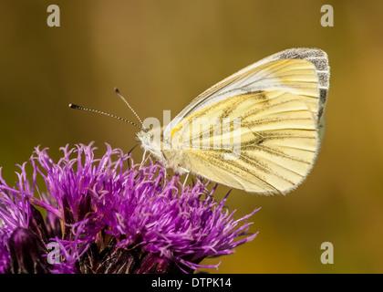 green-veined white butterfly / pieris napi - Stock Photo