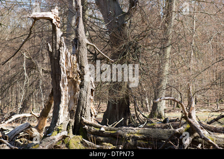 Single old and dead broken tree within a forest - Stock Photo