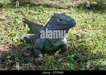 Cayman Islands An Endangered Male Blue Iguana In The Shade On Grass At Queen Elizabeth II Botanic