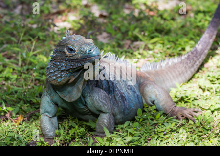 Blue Iguana An Endangered Male In The Grass At Queen Elizabeth II Botanic Park On Grand