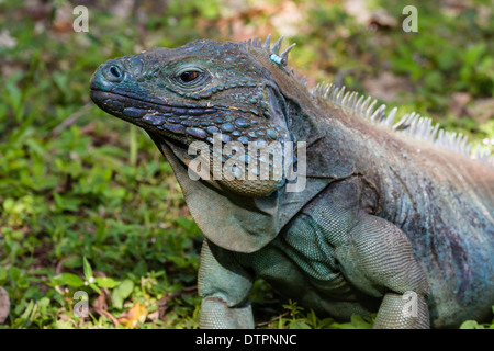 Grand Cayman Islands Close Up Of A Blue And Turquoise Endangered Male Iguana In Queen Elizabeth II