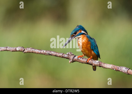 male common kingfisher alcedo atthis perched over a small lake - Stock Photo