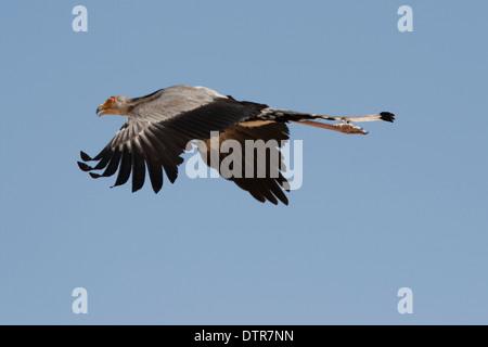 Secretary Bird flying the Kalahari desert - Stock Photo