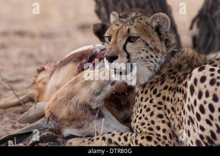 Cheetah cub in the Kalahari desert - Stock Photo