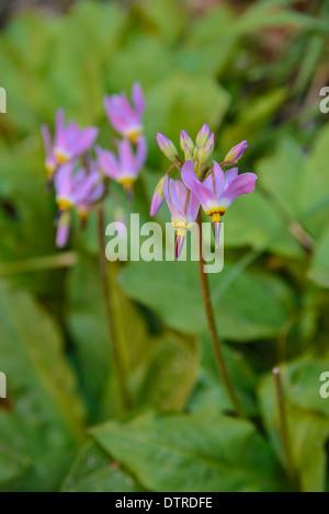 Zion Shooting Star, Dodecatheon Pulchellum, Wildflowers, Weeping Rock, Zion National Park, Utah, USA - Stock Photo