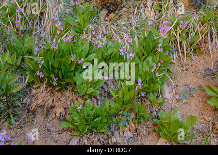 Zion Shooting Star, Dodecatheon Pulchellum, Wildflowers, Weeping Rock, Zion National Park, Utah, USA - Stock Photo