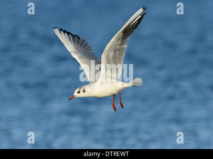 Black-headed Gull Chroicocephalus ridibundus -Winter Adult - Stock Photo
