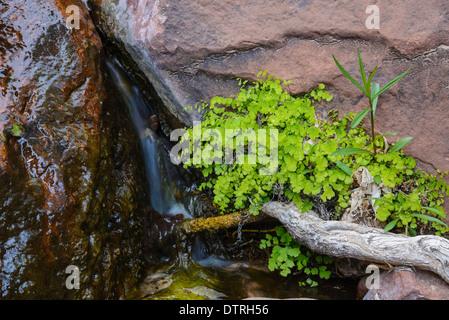 Maidenhair fern, Adiantum capillus-veneris, Zion National Park, Utah, USA - Stock Photo