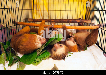 Baby orphaned Hoffmann's Two-toed Sloths (Choloepus hoffmanni) feeding on leaves at the Sloth Sanctuary - Stock Photo