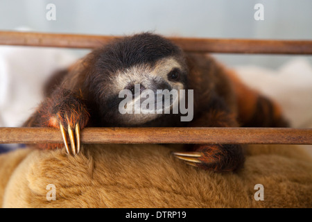 Baby brown-throated three-toed sloth (Bradypus variegatus) during play time in nursery at a sloth sanctuary