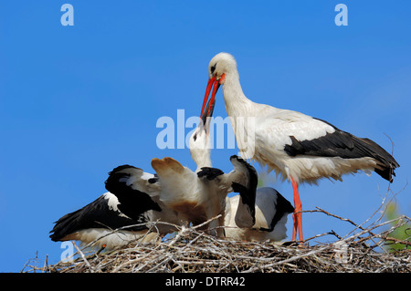 White Stork with youngs at nest / (Ciconia ciconia) - Stock Photo
