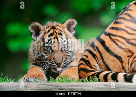 Young Sumatran Tiger / (Panthera tigris sumatrae, Panthera sumatrae) - Stock Photo