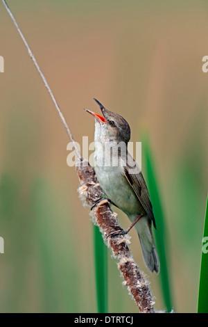 Great Reed Warbler, male, Greece / (Acrocephalus arundinaceus) - Stock Photo