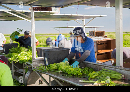 Belle Glade, Florida - Workers harvest celery at Roth Farms. - Stock Photo