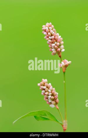Ladysthumb North Rhine-Westphalia Germany / (Persicaria maculosa Polygonum persicaria Persicaria maculata) / Redshank - Stock Photo