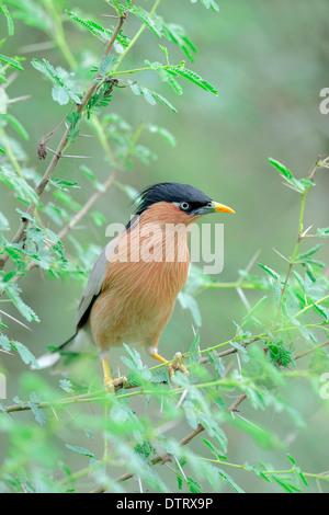 Brahminy Myna, Keoladeo Ghana national park, Rajasthan, India / (Sturnus pagodarum) / Brahminy Starling, Black-headed - Stock Photo