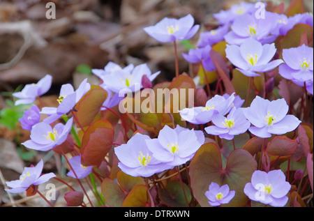 Leberbluemchen - Hepatica nobilis 01 - Stock Photo